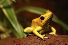 Golden poison dart frog Stock Photos