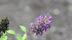 Purple flower blows in wind Stock Footage
