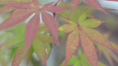 Red and green maple plant Stock Footage