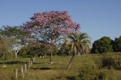 Lapacho tree (tabebuia heptaphylla) with pink flowers, paraguay Stock Photos