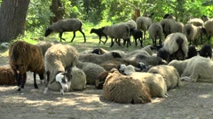 Flock of sheep resting in the shade of the trees Stock Footage