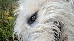 Irish Wolfhound head Stock Footage