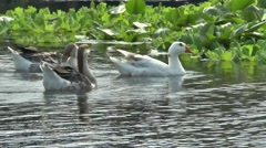 Geese on the River Stock Footage