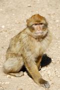 Stock Photo of berber monkey barbary macaque macaca sylvanus middle atlas moyen morocco