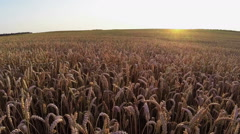 Flight above crop field at sunset, aerial view. Stock Footage