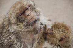barbary apes macaca sylvanus azrou morocco - stock photo