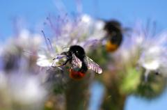 A red-tailed bumble bee sitting on a phacelia Stock Photos