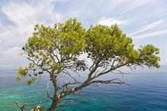 Aleppo pine (pinus halepensis), in front of turquoise-blue sea, island hvar,  Stock Photos