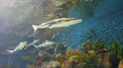 Tiger san shark. Fishes underwater Stock Footage