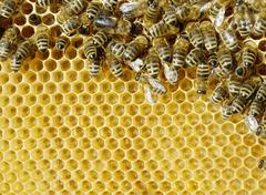 Stock Photo of bees suckling honey from the cells of recently constructed honey cells