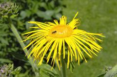 flower of inula helenium, compositacea with solitary bee - stock photo