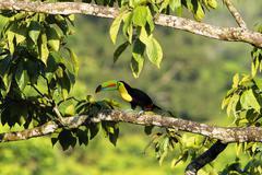 keel billed toucan, ramphastos sulfuratus, costa rica - stock photo