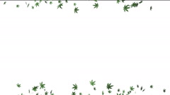 Ganja Mary Leafs Falling On White Background From Both Sides - stock footage