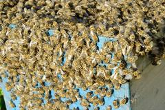 bee swarm is moving into beehive - stock photo