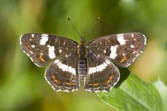 Map butterfly (araschnia levana) Kuvituskuvat