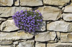 large-flowered aubrieta (aubrieta x cultorum) - stock photo