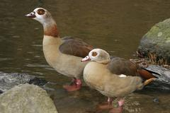 a couple of the egyptian goose alopochen aegyptiacus - stock photo
