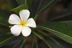 Stock Photo of white frangipani (plumeria alba), bali, indonesia