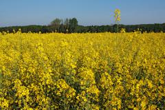 Canola field in bloom Stock Photos