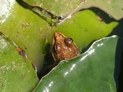 Perez\'s frog (rana perezi) Stock Photos