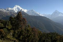 Snow covered massive of annapurna south with flowering rhododendron trees in  Stock Photos