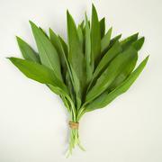 Stock Photo of bear\'s garlic (allium ursinum)