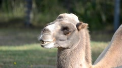 Ruminating bactrian camel (Camelus bactrian) Stock Footage