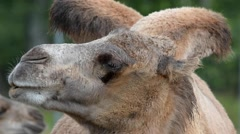 Bactrian camel (Camelus bactrian) Stock Footage