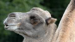 Bactrian camel (Camelus bactrian), close up  Stock Footage