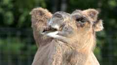 Bactrian camel (Camelus bactrian) chewing Stock Footage