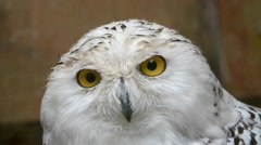 Stock Video Footage of Snowy owl, a portrait