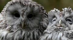 Ural owl (Strix uralensis) Stock Footage