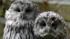 Ural owls (Strix uralensis) in zoological garden Stock Footage