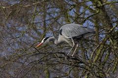 Stock Photo of grey herons standing on an tree searching for nesting material - gray herons