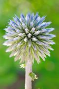 blue globe thistle (echinops) - stock photo