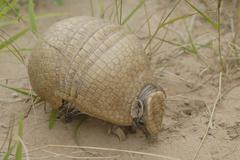 Three-banded armadillo (tolypeutes matacus), gran chaco, paraguay Stock Photos