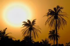 Palm-trees outlined against a sunset sky, the gambia, africa Kuvituskuvat