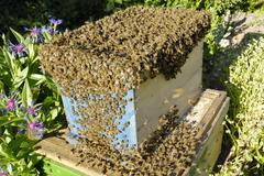bee swarm collected by beekeeper is moving into new hive - stock photo