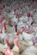 animal husbandry - turkey (meleagridinae) - stock photo