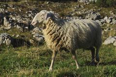Merino sheep (ovis aries) on the pasture Stock Photos