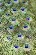 Feathers of the indian peafowl or common or blue peafowl (pavo cristatus) Stock Photos