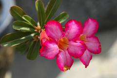 Flowering desert rose, adenium obesum Stock Photos