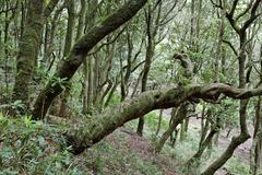 Laurel forest (laurisilva), madeira, portugal Stock Photos