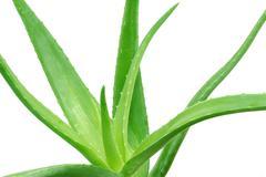 aloe vera (aloe barbadensis) - stock photo
