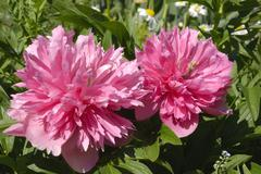 Pink flowers of paeonia officinalis, cultivated filled form, paeoniaceae Stock Photos