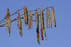 Hazelnut branch corylus avellana Stock Photos