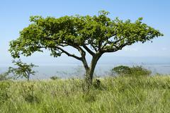 acacia tree in the savannah nechisar natioinal park near arba minch ethiopia - stock photo
