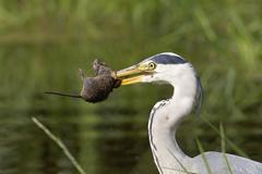 Gray heron (ardea cinerea) with caught mouse in its bill Stock Photos