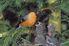 Stock Photo of bullfinch (pyrrhula pyrrhula), male feeding at nest
