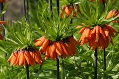 flowering fritillary rubra maxima - crown imperial rubra maxima (fritillaria  - stock photo